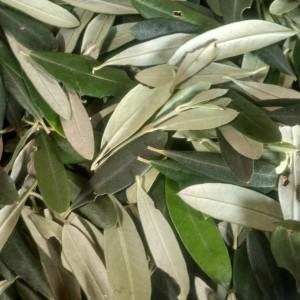 Harga promo bulan puasa 1kg basah daun zaitun | HARGALOKA.COM