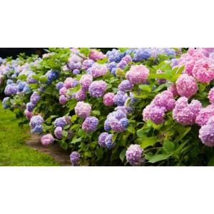 Harga benih biji bunga hydrangea hortensia kembang bokor | HARGALOKA.COM