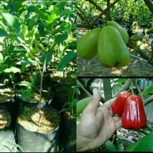 Harga promo paket bibit tanaman buah jambu air madu deli dan citra terlaris 34 | HARGALOKA.COM