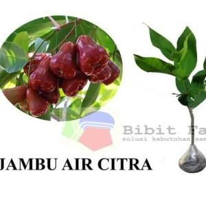 Harga bibit tanaman buah jambu air | HARGALOKA.COM