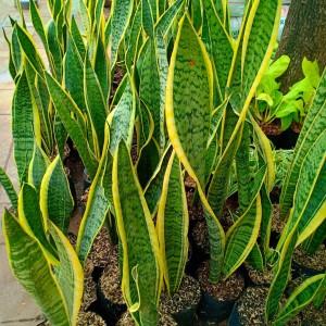 Harga pohon lidah mertua kirim khusus   HARGALOKA.COM