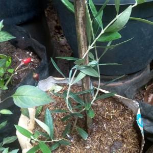 Harga tanaman bibit pohon zaitun | HARGALOKA.COM