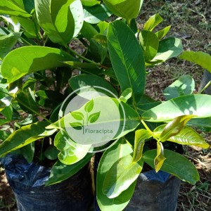 Harga bibit pohon jambu air citra jambu air madu deli tanaman buah | HARGALOKA.COM