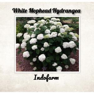 Harga tanaman bibit white mophead | HARGALOKA.COM