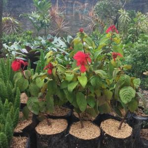 Harga bibit pohon bunga nusa indah merah tanaman bunga nusa indah | HARGALOKA.COM