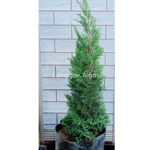 Info Cemara 60cm Pohon Natal Christmas Tree Pp 0 6 Meter Katalog.or.id