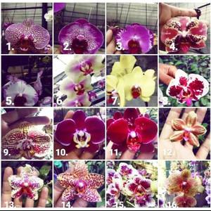 Harga seedling anggrek bulan phalaenopsis hybrid bunga bervariasi | HARGALOKA.COM