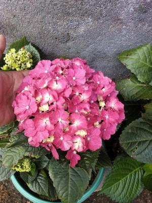 Harga restock bibit tanaman hydrangea pink berbunga kw | HARGALOKA.COM
