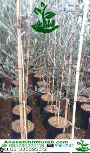 Harga okulasi tanaman sedia bibit buah import zaitun black mision   benih | HARGALOKA.COM