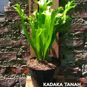 Harga tanaman hias kadaka irian   pakis irian   kadaka tanah   rimbun | HARGALOKA.COM
