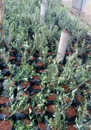 Harga diskon bibit tanaman pohon zaitun black mision | HARGALOKA.COM