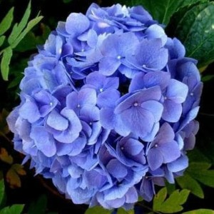 Harga baru bibit tanaman bibit tanaman hydrangea biru bunga hortensia | HARGALOKA.COM