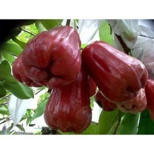 Harga bibit tanaman jambu air citra | HARGALOKA.COM