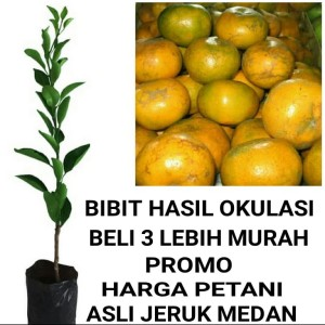 Harga bibit tanaman pohon jeruk medan hasil okulasi jaminan | HARGALOKA.COM