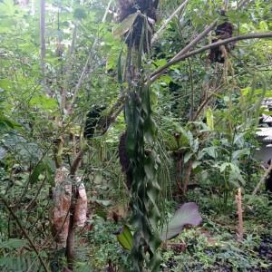 Harga tanaman hias kadaka | HARGALOKA.COM
