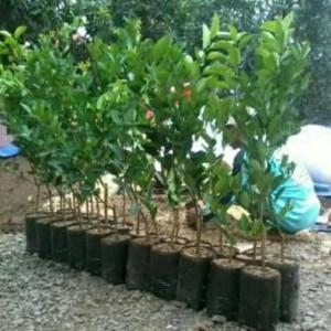Harga kw super bibit tanaman buah jeruk medan | HARGALOKA.COM