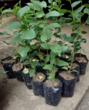 Harga jual paket bibit tanaman bidara zaitun buah tin   benih biji | HARGALOKA.COM