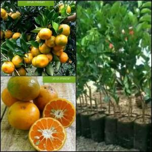 Harga bibit tanaman jeruk medan pohon jeruk medan | HARGALOKA.COM
