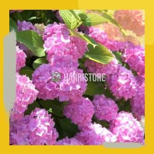 Harga bibit tanaman bibit tanaman hydrangea forever pink bunga hortensia | HARGALOKA.COM