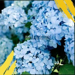 Harga bibit tanaman hydrangea biru bunga hortensia panca warna | HARGALOKA.COM