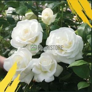 Harga tanaman hias bunga mawar putih bukan biji wangi | HARGALOKA.COM