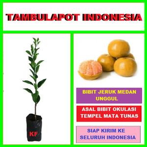 Harga bibit tanaman pohon jeruk medan bibit jeruk | HARGALOKA.COM