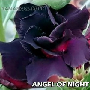 Harga jual bibit bunga kamboja adenium angel of night   | HARGALOKA.COM