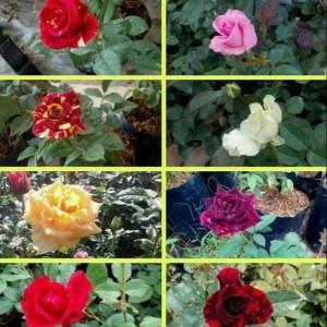 24 Harga Bibit Bunga Mawar Biru Murah Terbaru 2020 Katalog Or Id