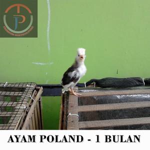 Harga Ayam Hias Katalog.or.id