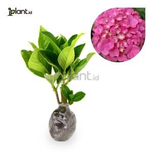 Harga hydrangea pink   bibit tanaman | HARGALOKA.COM