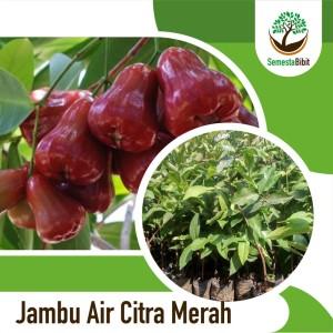Harga bibit unggul tanaman buah jambu air citra | HARGALOKA.COM