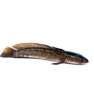 Harga ikan gabus segar 1000 | HARGALOKA.COM