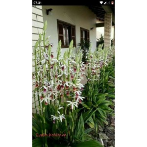 Harga tanaman anggrek tanah paiyus | HARGALOKA.COM