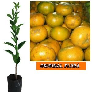 Harga bibit jeruk medan tanaman buah jeruk okulasi lebih cepat | HARGALOKA.COM