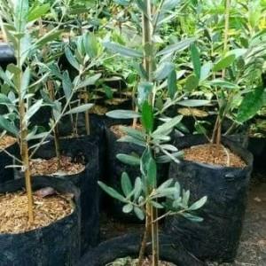 Harga bibit pohon | HARGALOKA.COM